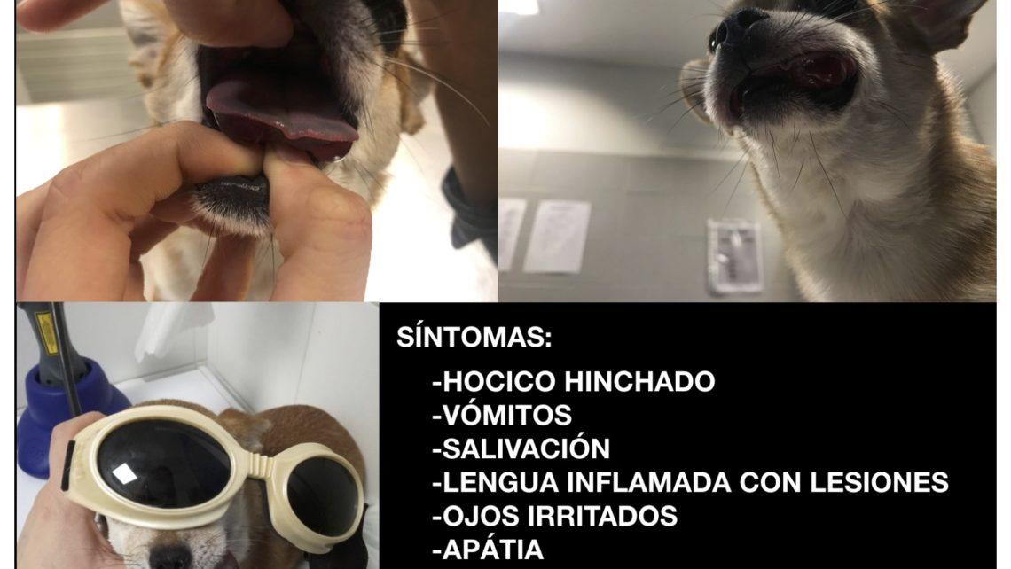 Procesionaria y mascotas