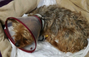 castración en perras